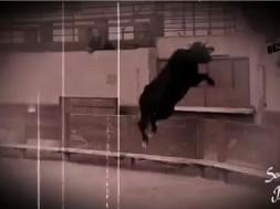 taureau envole