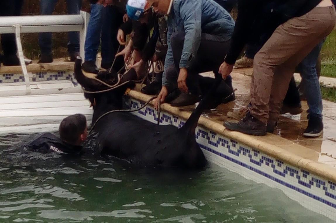 SAINT BAUZELY – Le taureau échappé finit dans la piscine