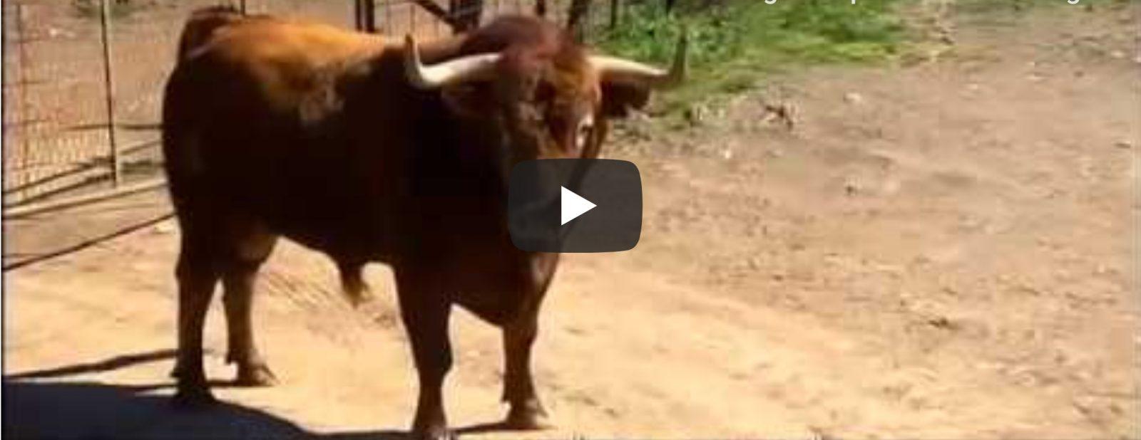 El toro agresivo de Peñajara impone su dominio   Toros desde Andalucía – Programa Toros para todos
