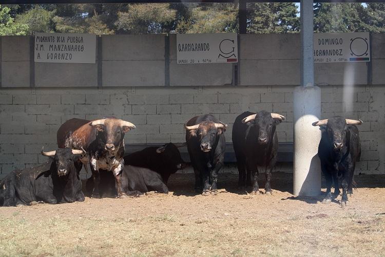 ARLES (20/04/2019) – SORTEO – Toros de Garcigrande pour Morante de la Puebla, Manzanares et Álvaro Lorenzo