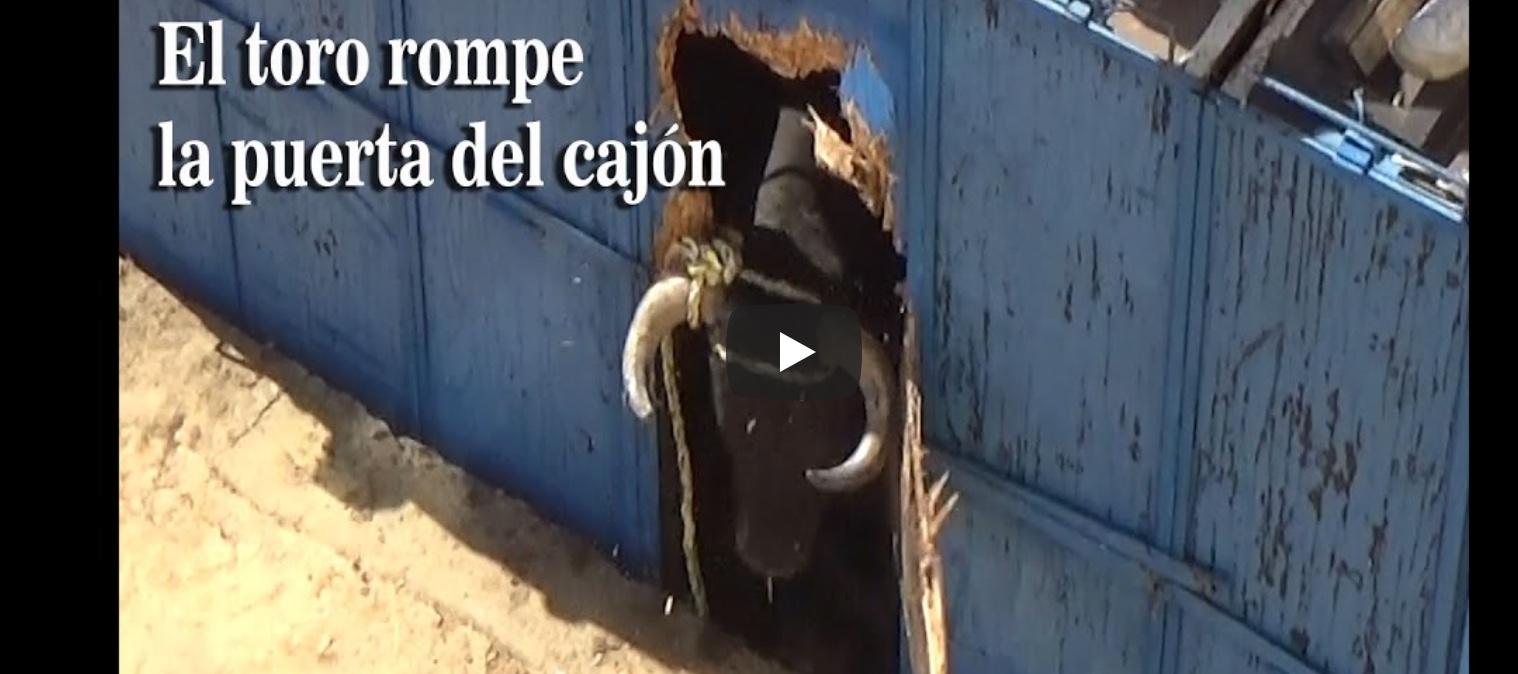 VIDEO DU NET // Le toro casse le cajon et fait une sortie impressionnante – EL TORO ROMPE EL CAJON Y SE SALE IMPRESIONANTE – JESUS ESTEVE VIDEO