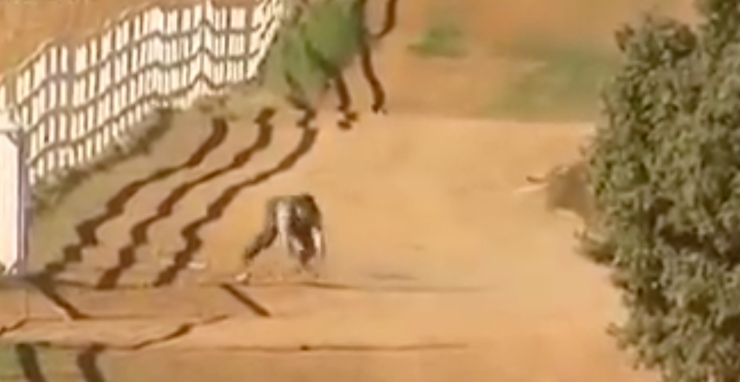 VIDEO DU NET // Danger dans le campo de la ganaderia de Los Chospes – Un miracle pour le mayoral