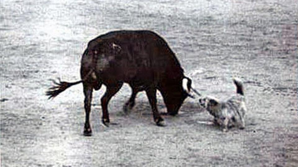 ORTEGA, le petit chien dompteur de Miura
