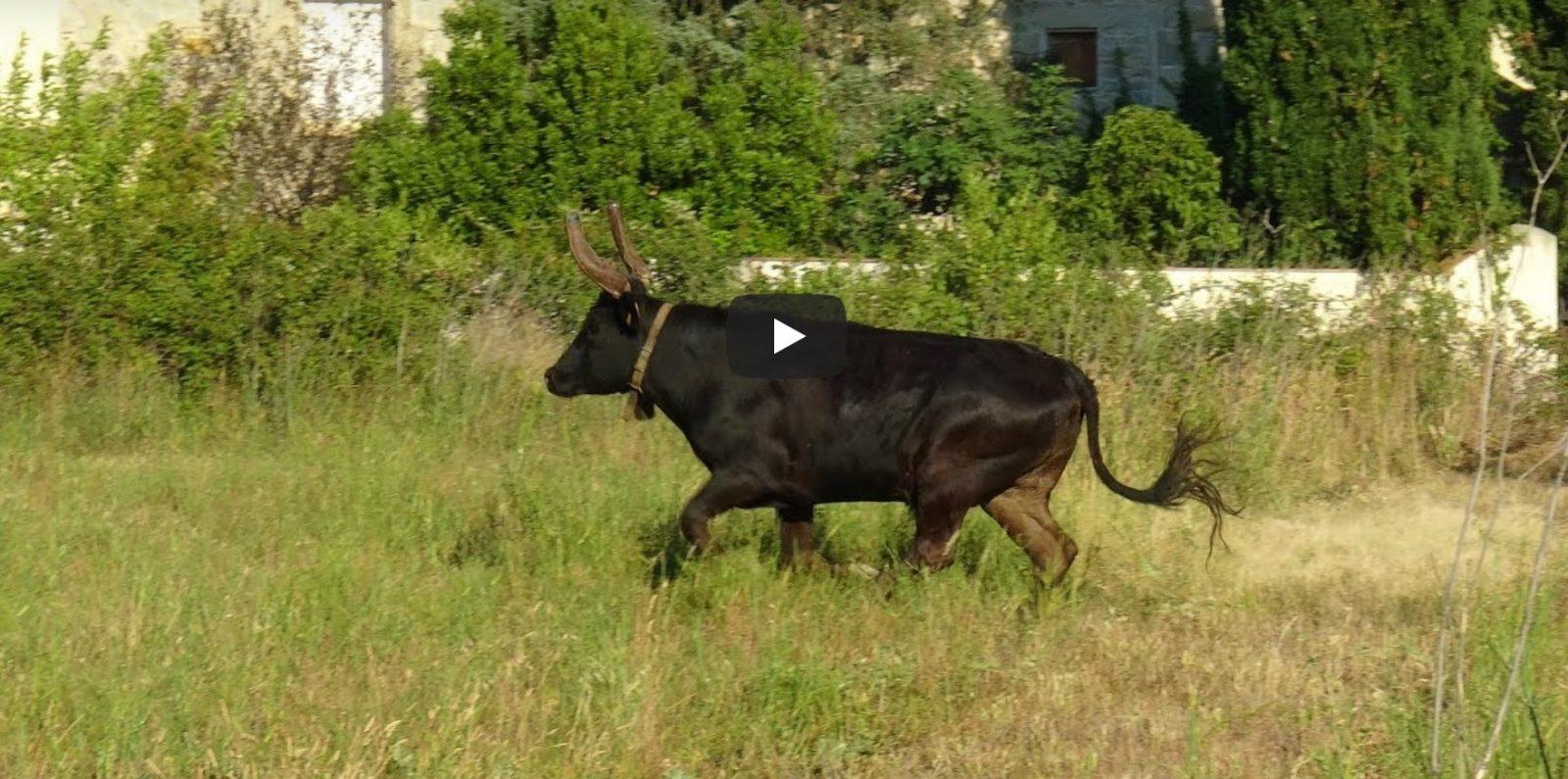 CAVEIRAC (13/07/2019) – Retour en vidéo sur le concours d'abrivado et bandido parcours ouvert