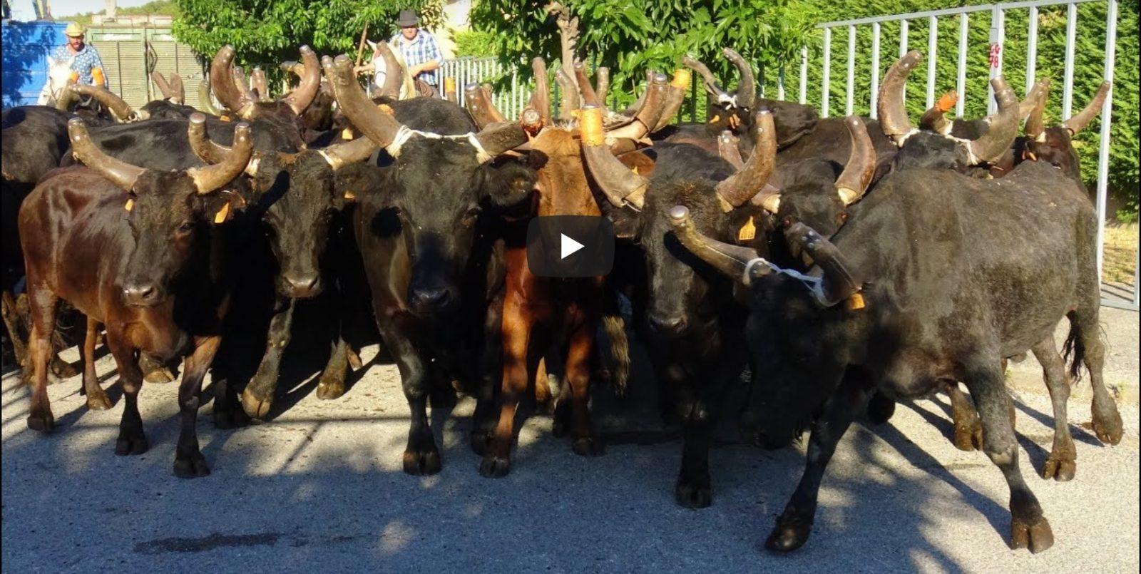 LANGLADE (14/08/2019) – Retour en vidéo sur la BANDIDO + 30 TAUREAUX