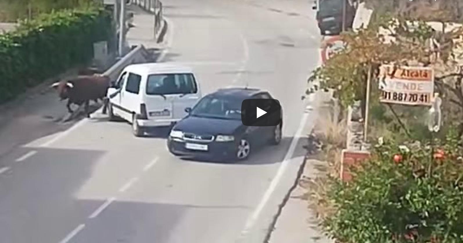 VIDEO // Un toro s'échappe d'une ganaderia et sème la panique dans le centre ville de Pastrana (Guadalajara)