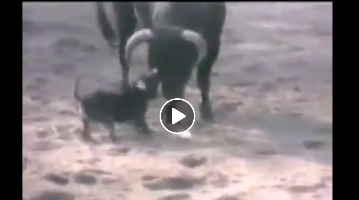VIDEO DU NET // Le chien sauve un homme avec un quite