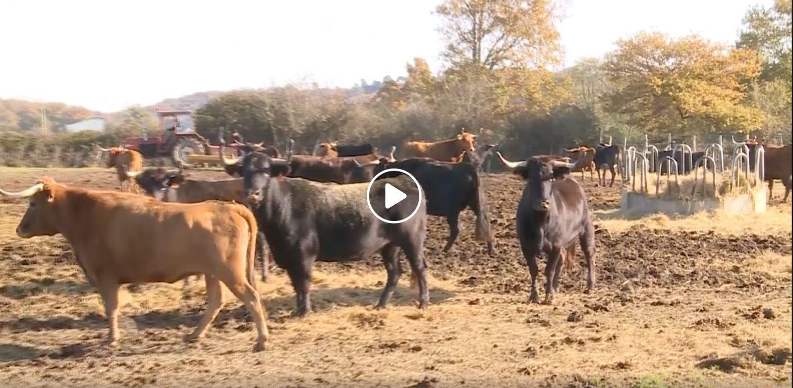 VIDEO // Les coulisses de la Ganaderia Dussau avec Guillaume Dussau