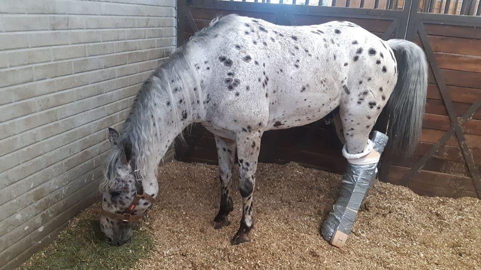 """""""Picasso"""", le cheval d'Andy Cartagena a été opéré après sa grave blessure à La Petatera"""