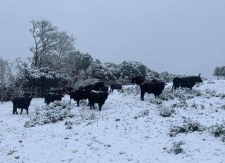 Les taureaux sous la neige