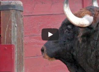 toro espagnol